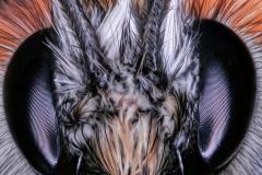 Baumhummel (Bombus hypnorum)