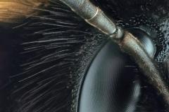 Wiesenhummel (Bombus pratorum)