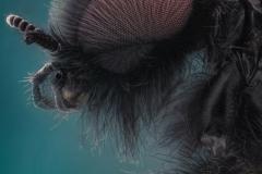 Märzfliege (Bibio marci) 100 MP Pano Stitch 5600 Frames