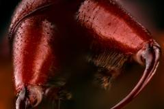 kleiner Asseljäger (Dysdera erythrina)